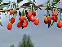 Рецепты с ягодами годжи фото
