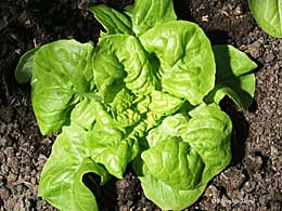 Салат листоой